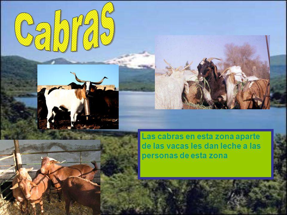 Cabras Las cabras en esta zona aparte de las vacas les dan leche a las personas de esta zona