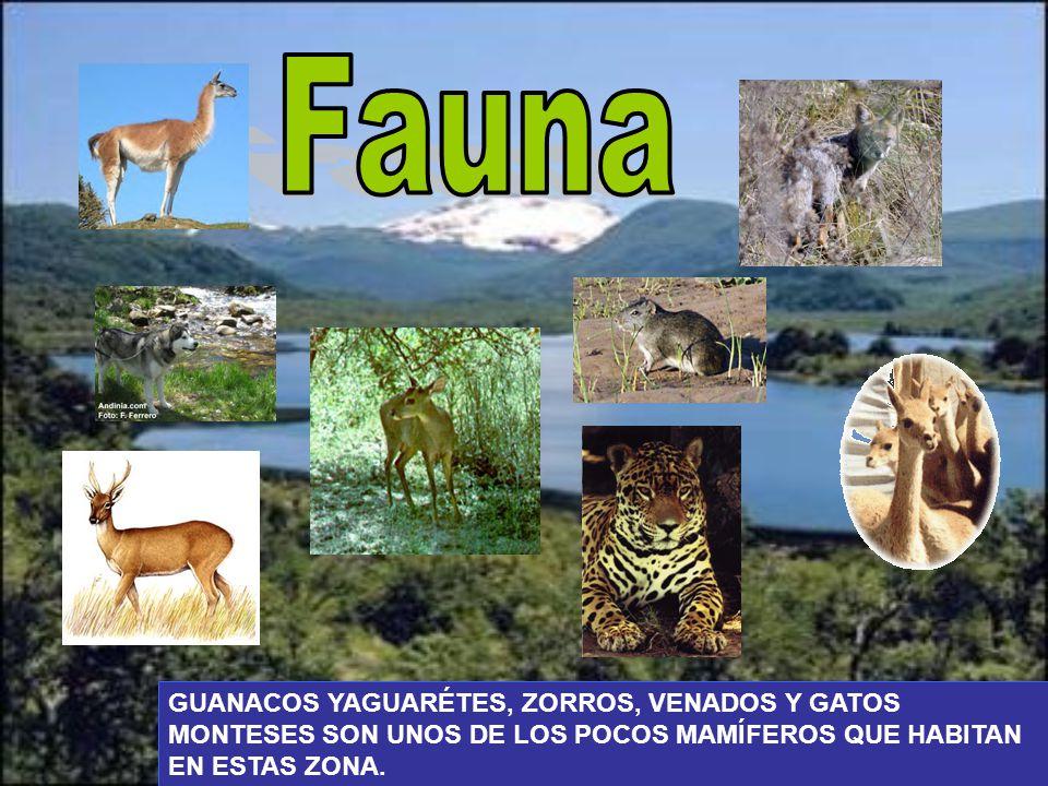 Fauna GUANACOS YAGUARÉTES, ZORROS, VENADOS Y GATOS MONTESES SON UNOS DE LOS POCOS MAMÍFEROS QUE HABITAN EN ESTAS ZONA.