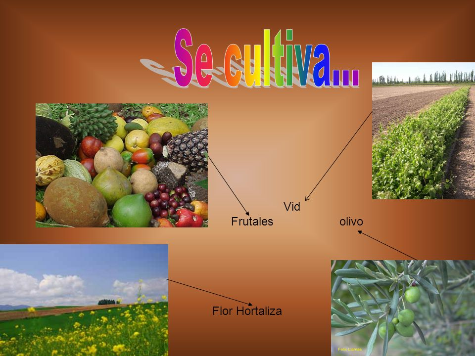Se cultiva... Vid Frutales olivo Flor Hortaliza