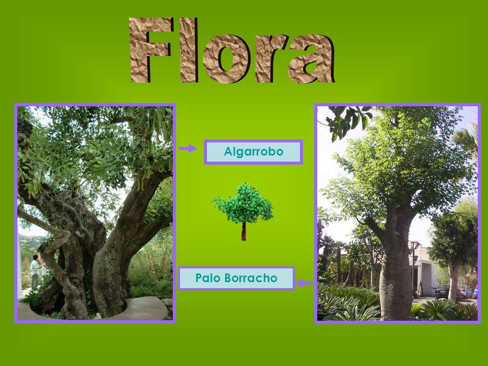 Flora Algarrobo Palo Borracho