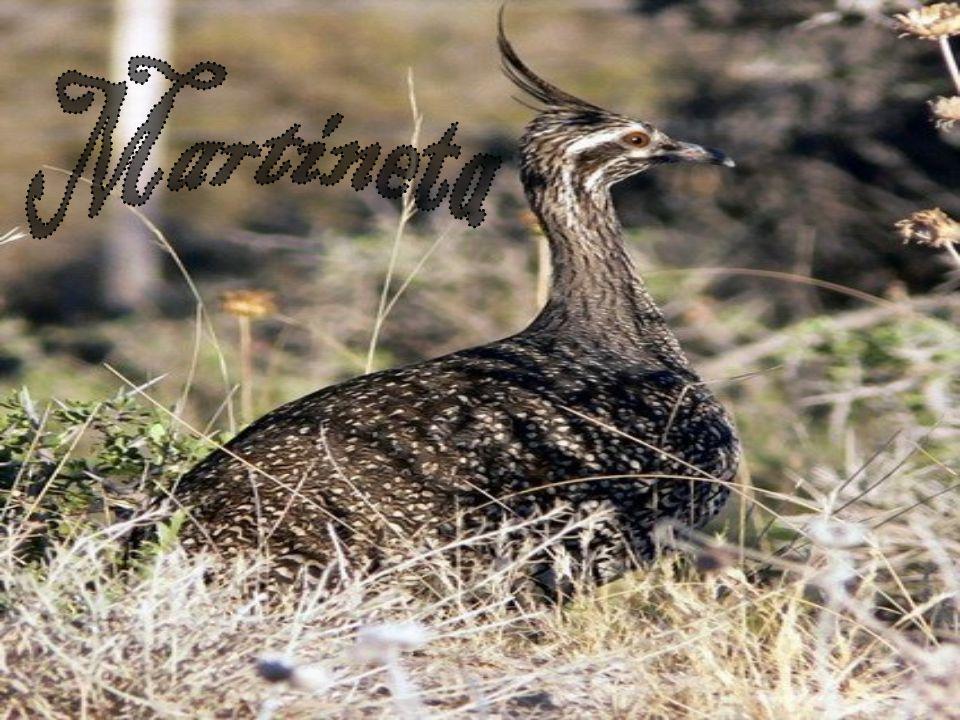 Martineta