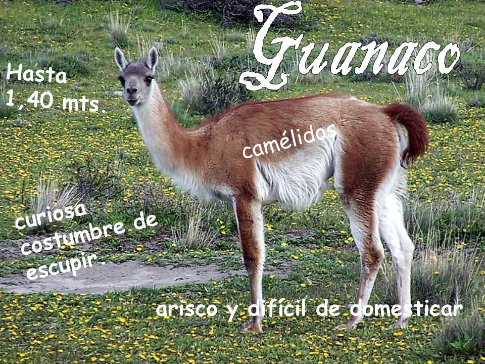Guanaco Hasta 1,40 mts. camélidos curiosa costumbre de escupir.