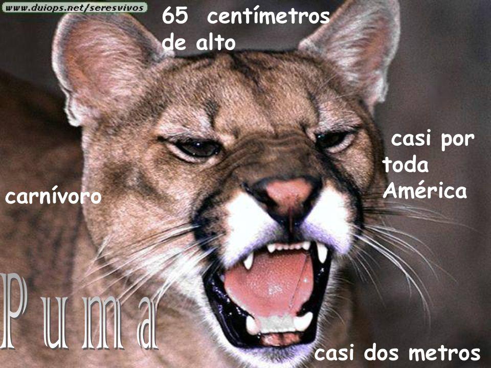 Puma 65 centímetros de alto casi por toda América carnívoro