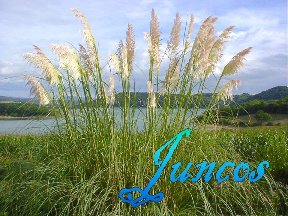 Juncos