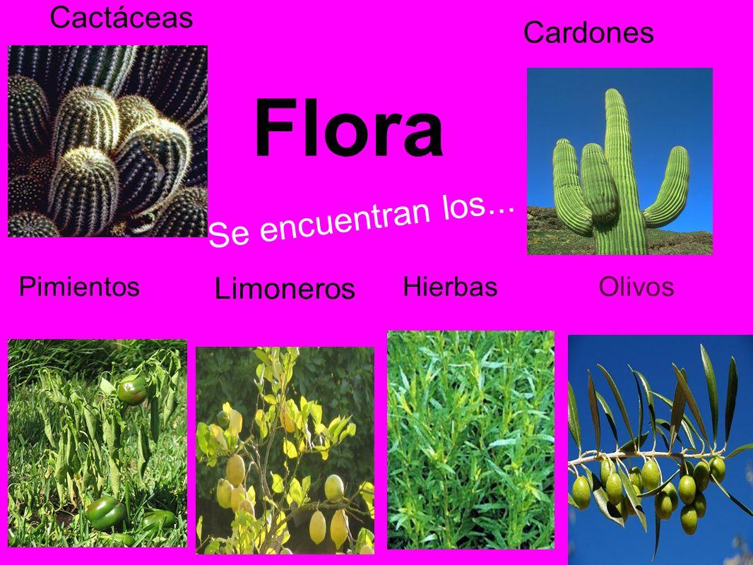 Flora Se encuentran los... Cactáceas Cardones Limoneros Pimientos
