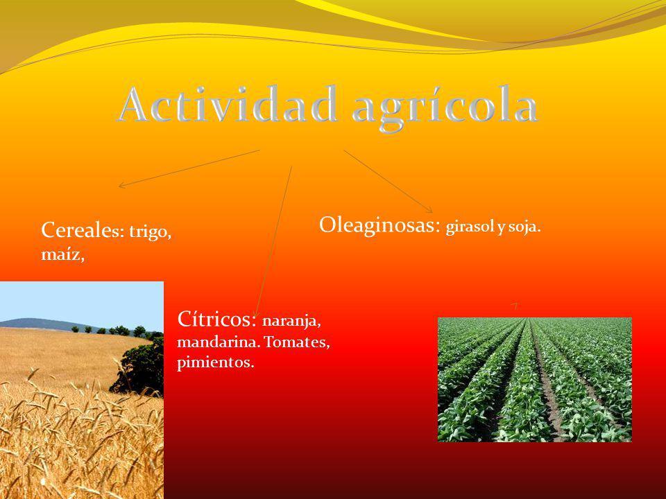 Actividad agrícola Oleaginosas: girasol y soja. Cereales: trigo, maíz,