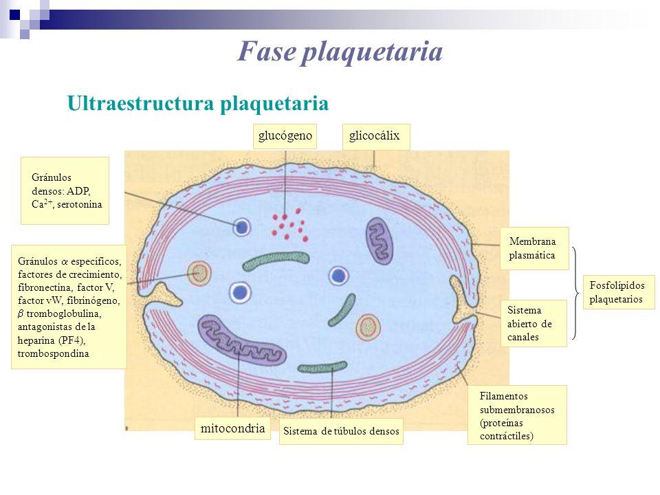 Fase plaquetaria Ultraestructura plaquetaria glucógeno glicocálix