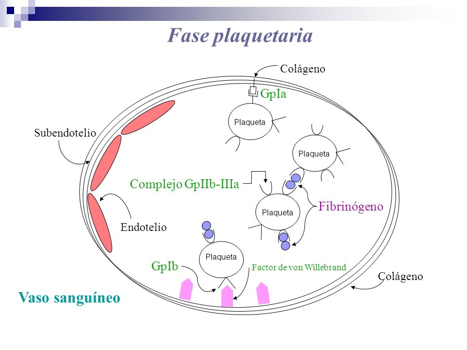 Fase plaquetaria Vaso sanguíneo GpIa Complejo GpIIb-IIIa Fibrinógeno