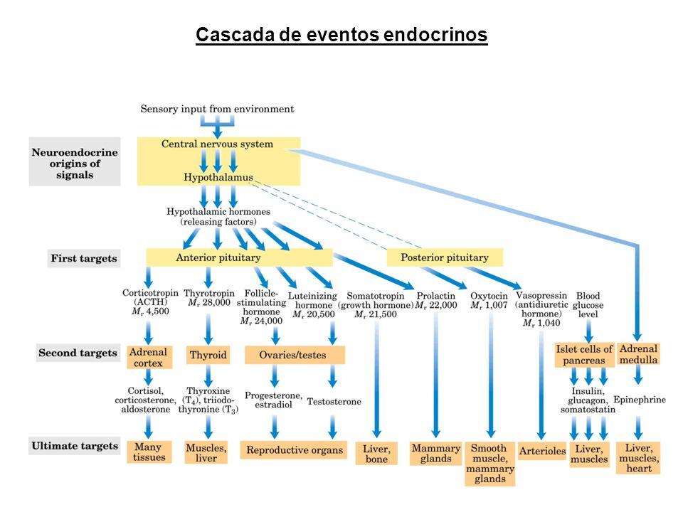 Cascada de eventos endocrinos