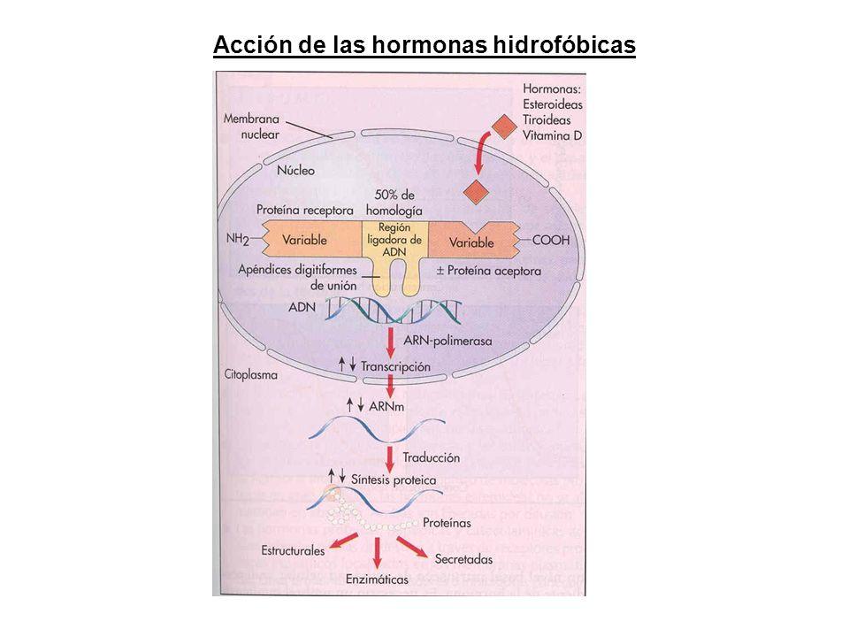 Acción de las hormonas hidrofóbicas