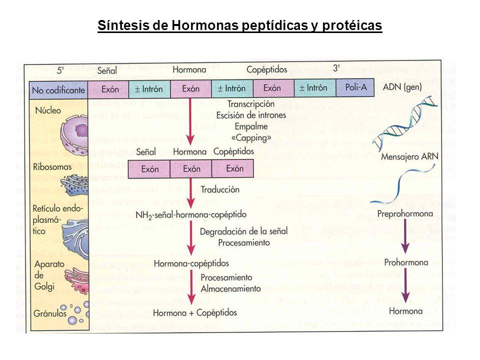 Síntesis de Hormonas peptídicas y protéicas