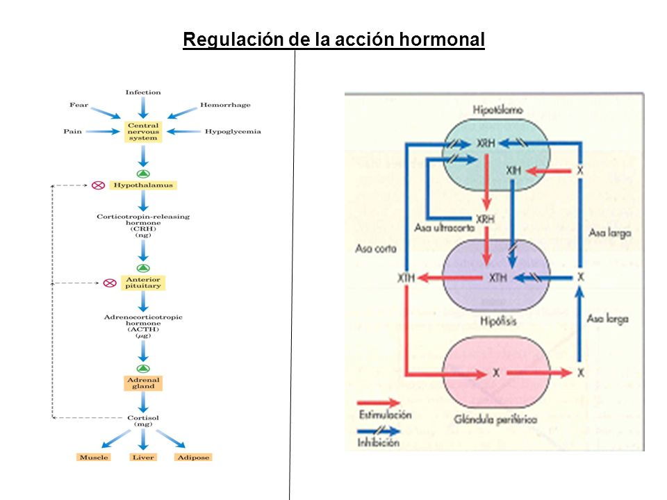 Regulación de la acción hormonal