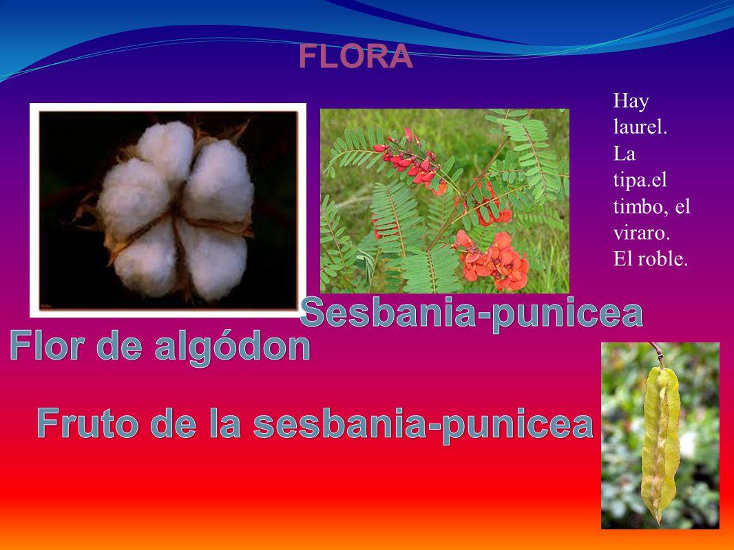 Fruto de la sesbania-punicea