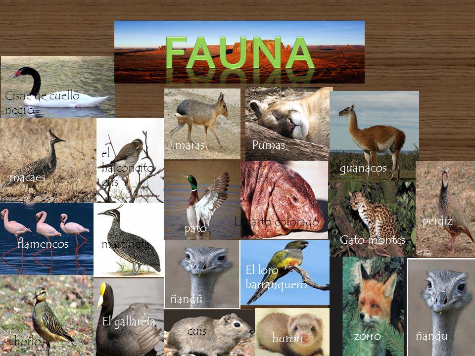 fauna Cisne de cuello negro maras Pumas el halconcito gris guanacos
