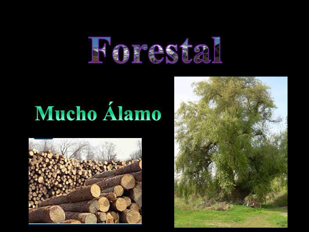 Forestal Mucho Álamo