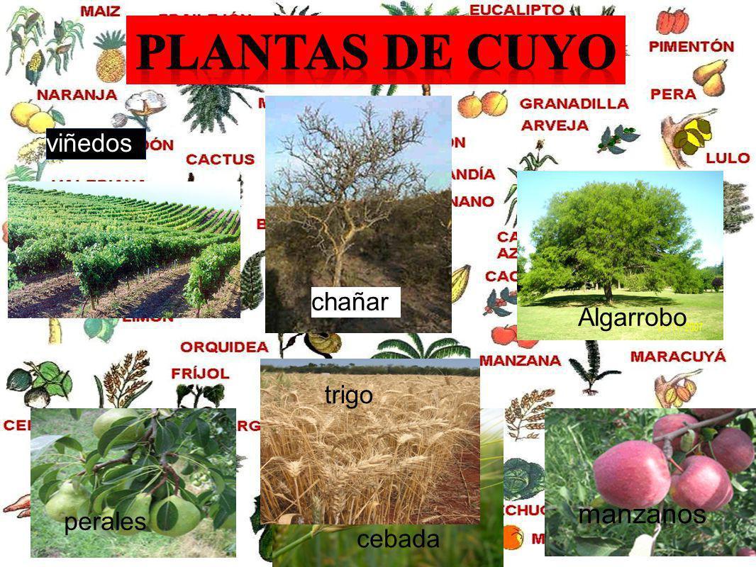 Plantas de cuyo viñedos chañar Algarrobo trigo manzanos perales cebada