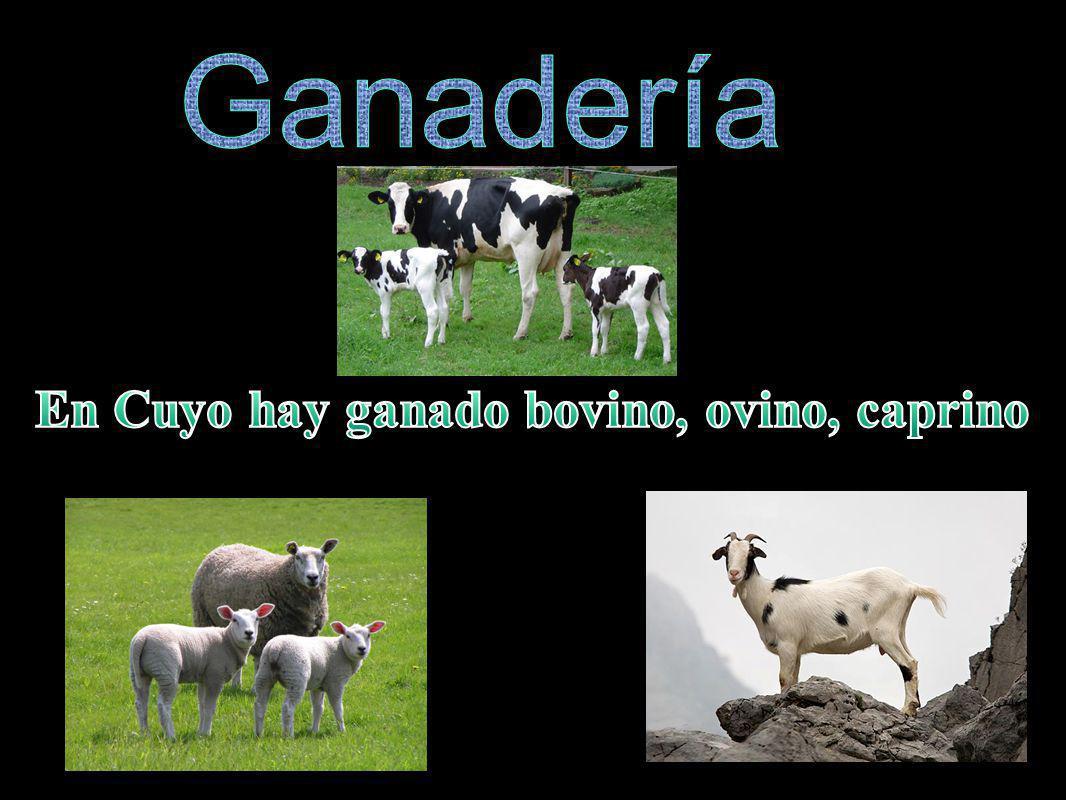 En Cuyo hay ganado bovino, ovino, caprino
