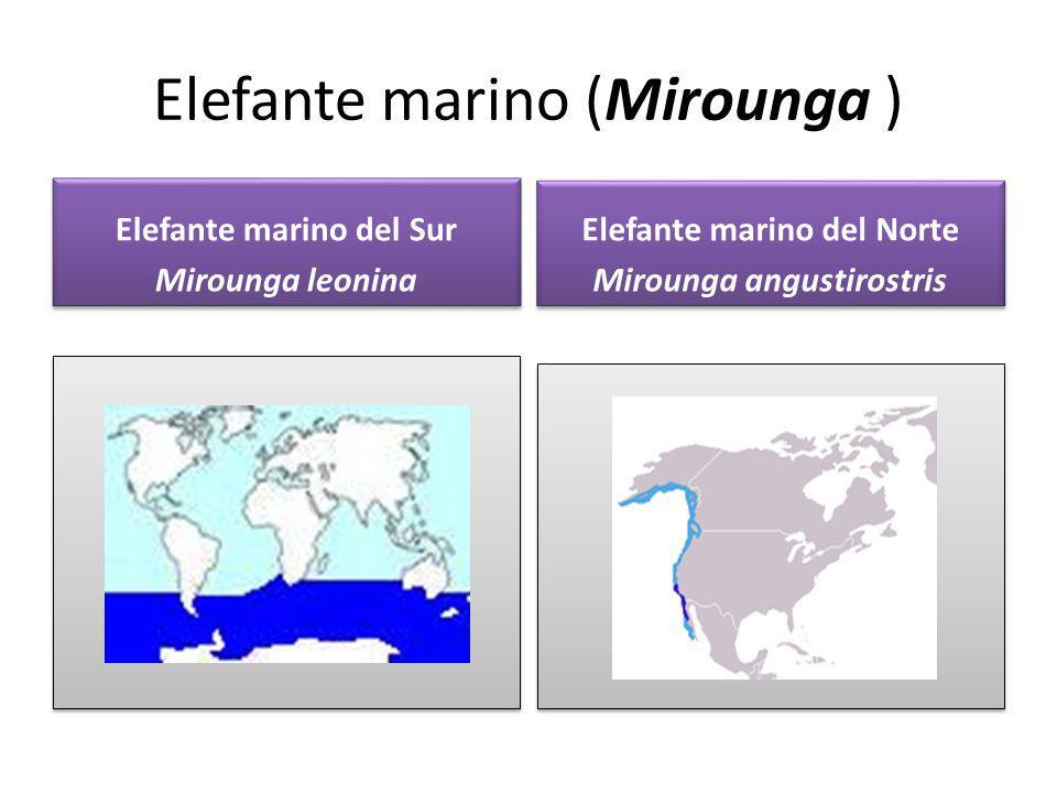 Elefante marino (Mirounga )