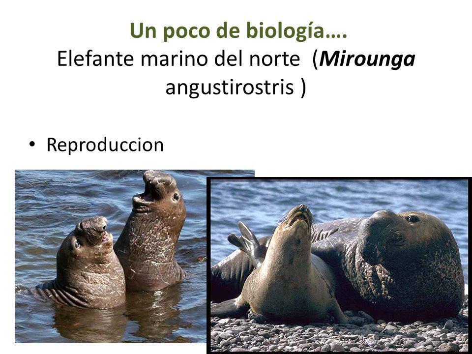Un poco de biología…. Elefante marino del norte (Mirounga angustirostris )