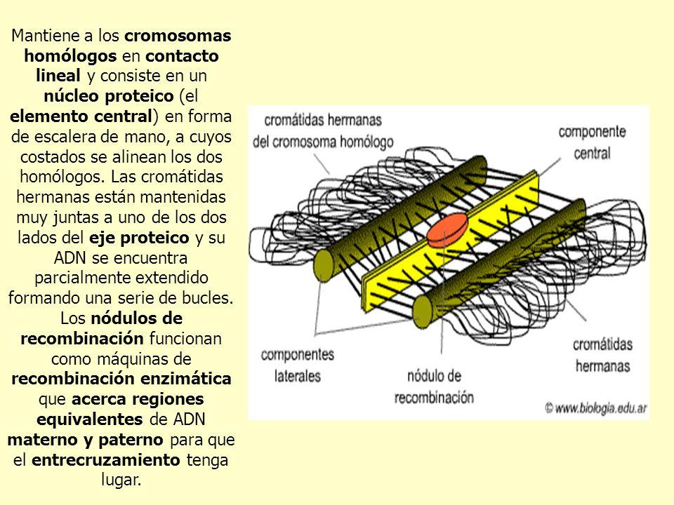Mantiene a los cromosomas homólogos en contacto lineal y consiste en un núcleo proteico (el elemento central) en forma de escalera de mano, a cuyos costados se alinean los dos homólogos.