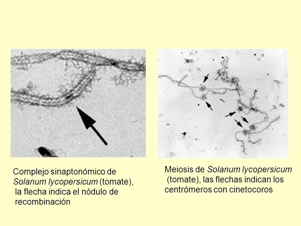 Meiosis de Solanum lycopersicum (tomate), las flechas indican los