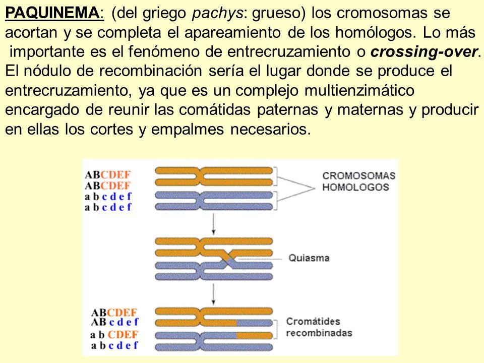 PAQUINEMA: (del griego pachys: grueso) los cromosomas se