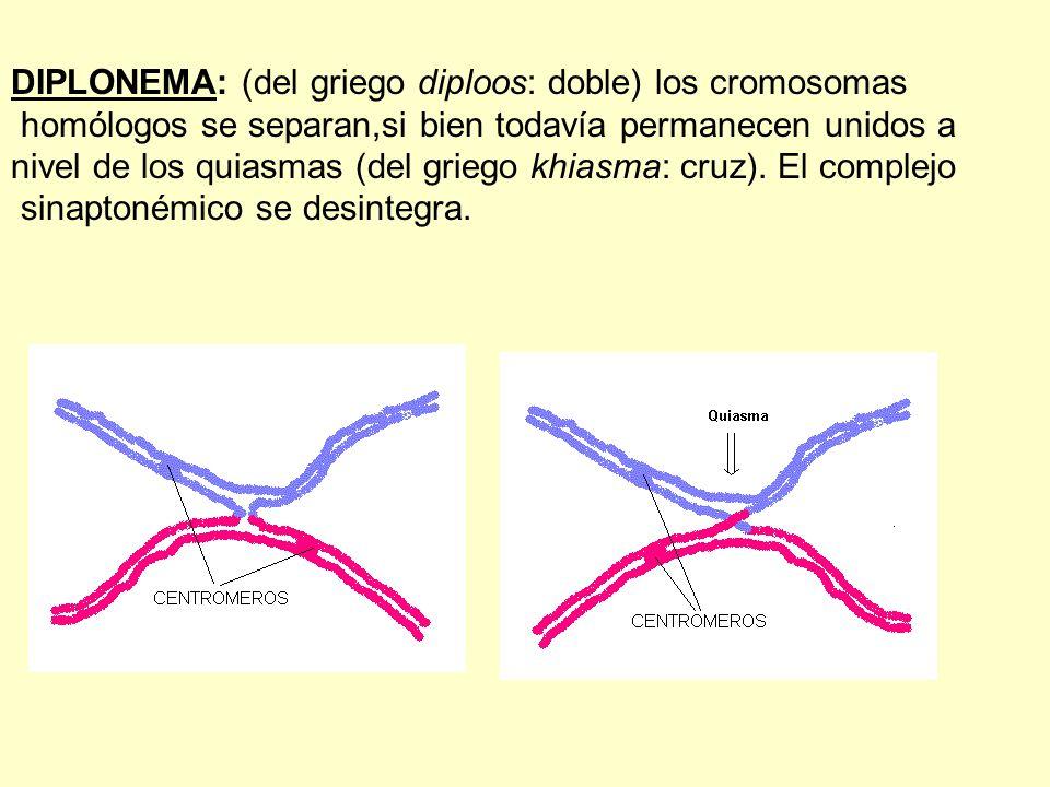 DIPLONEMA: (del griego diploos: doble) los cromosomas