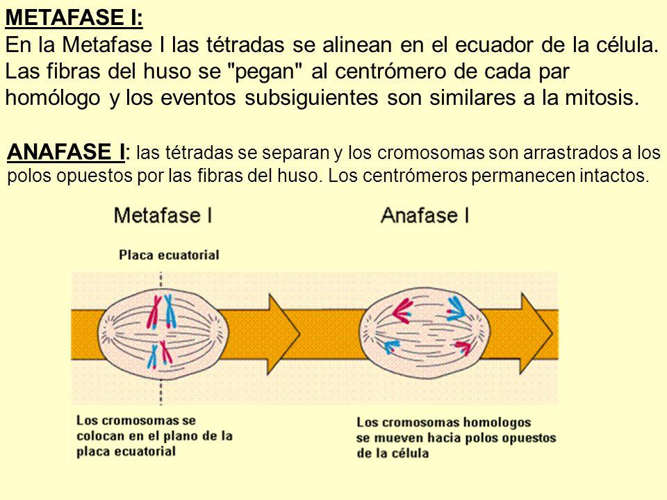En la Metafase I las tétradas se alinean en el ecuador de la célula.