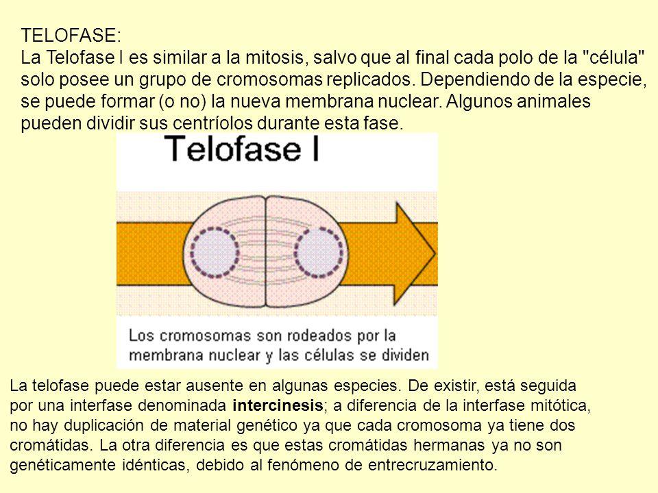 se puede formar (o no) la nueva membrana nuclear. Algunos animales