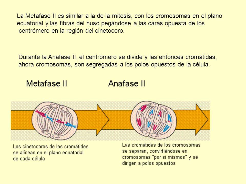La Metafase II es similar a la de la mitosis, con los cromosomas en el plano
