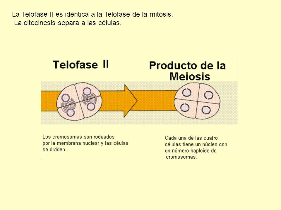 La Telofase II es idéntica a la Telofase de la mitosis.