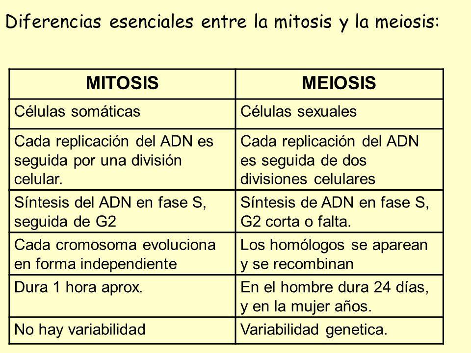 Diferencias esenciales entre la mitosis y la meiosis: MITOSIS MEIOSIS