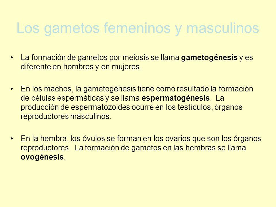 Los gametos femeninos y masculinos