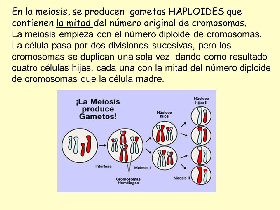 En la meiosis, se producen gametas HAPLOIDES que