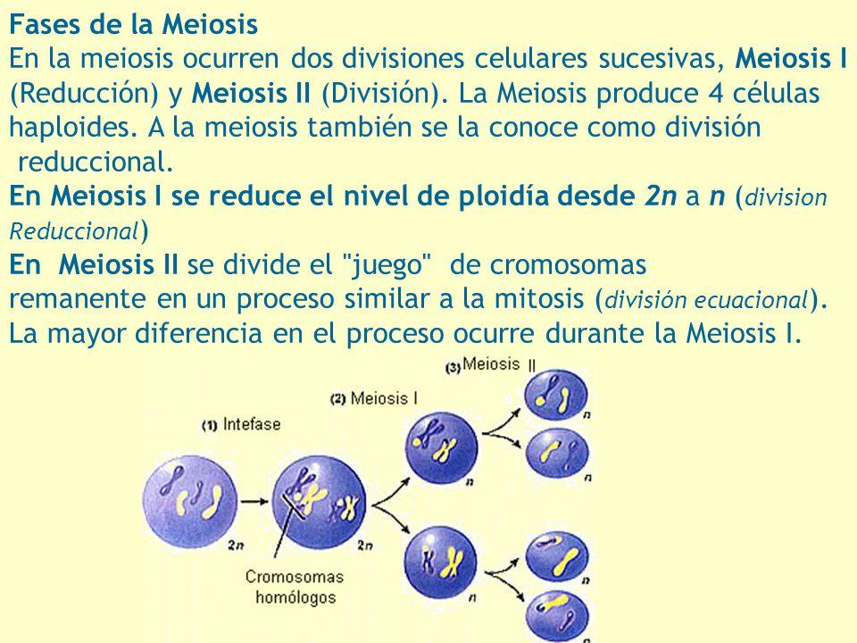 En la meiosis ocurren dos divisiones celulares sucesivas, Meiosis I