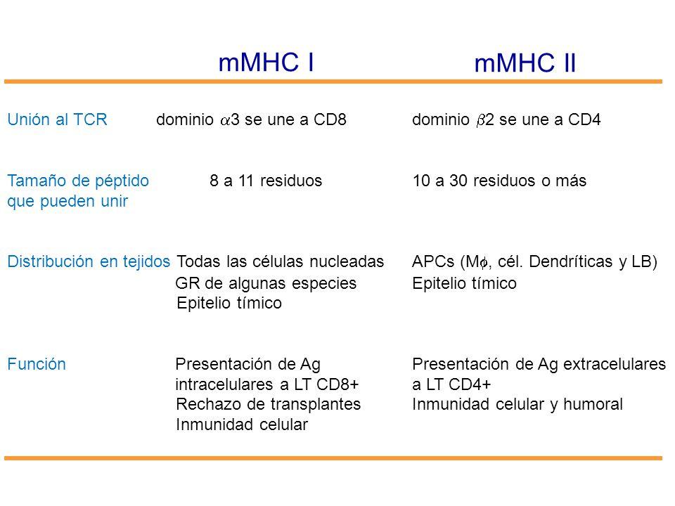 mMHC I mMHC II. Unión al TCR dominio a3 se une a CD8 dominio b2 se une a CD4. Tamaño de péptido 8 a 11 residuos 10 a 30 residuos o más.