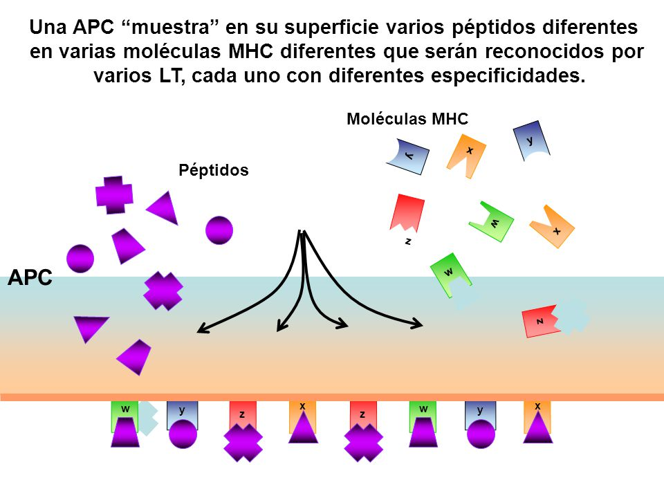 APC Una APC muestra en su superficie varios péptidos diferentes