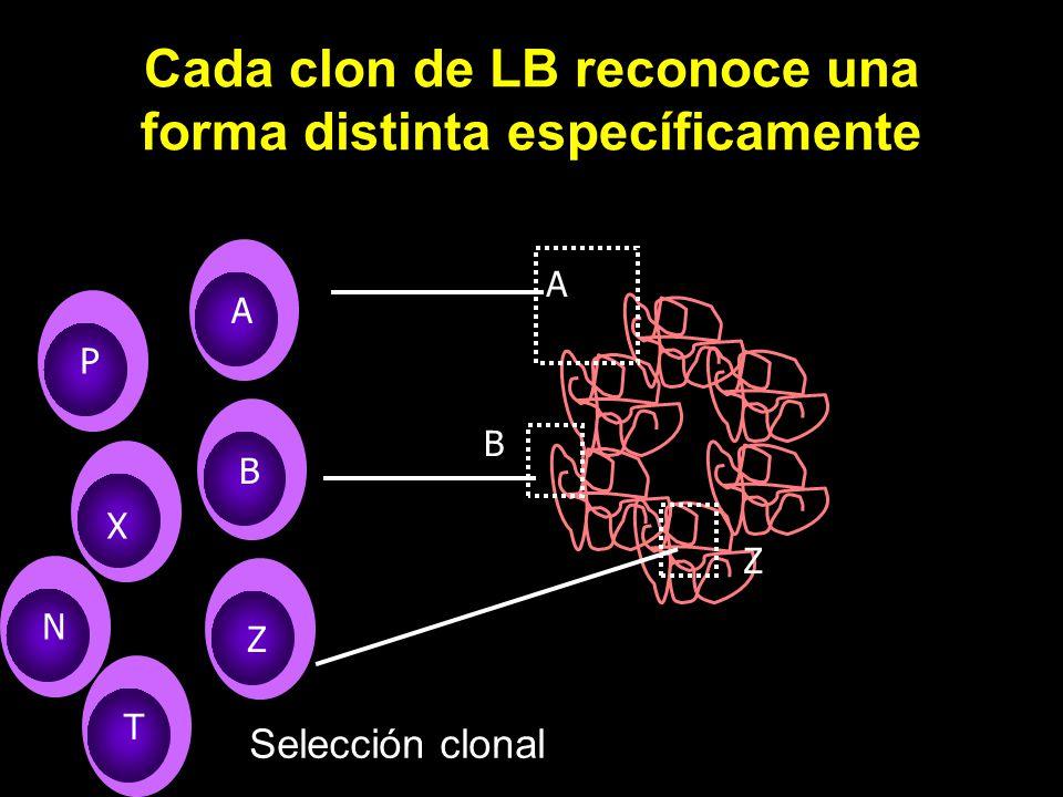 Cada clon de LB reconoce una forma distinta específicamente