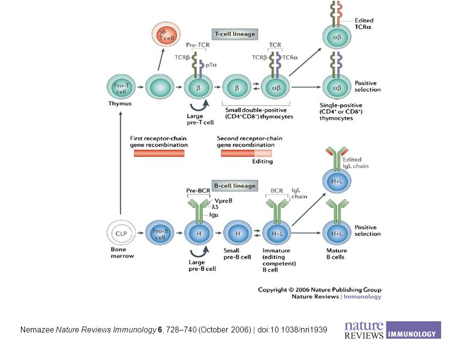 Nemazee Nature Reviews Immunology 6, 728–740 (October 2006) | doi:10