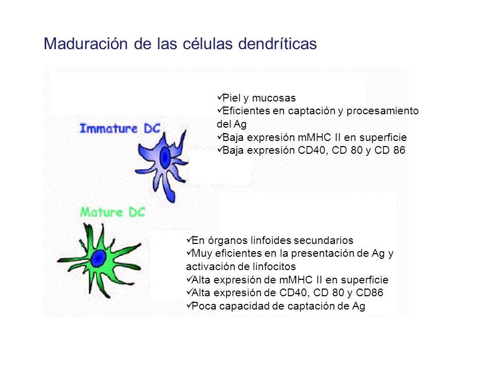 Maduración de las células dendríticas