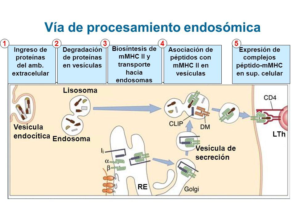 Vía de procesamiento endosómica