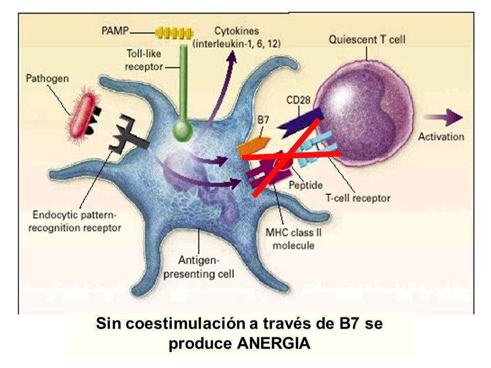 Sin coestimulación a través de B7 se produce ANERGIA