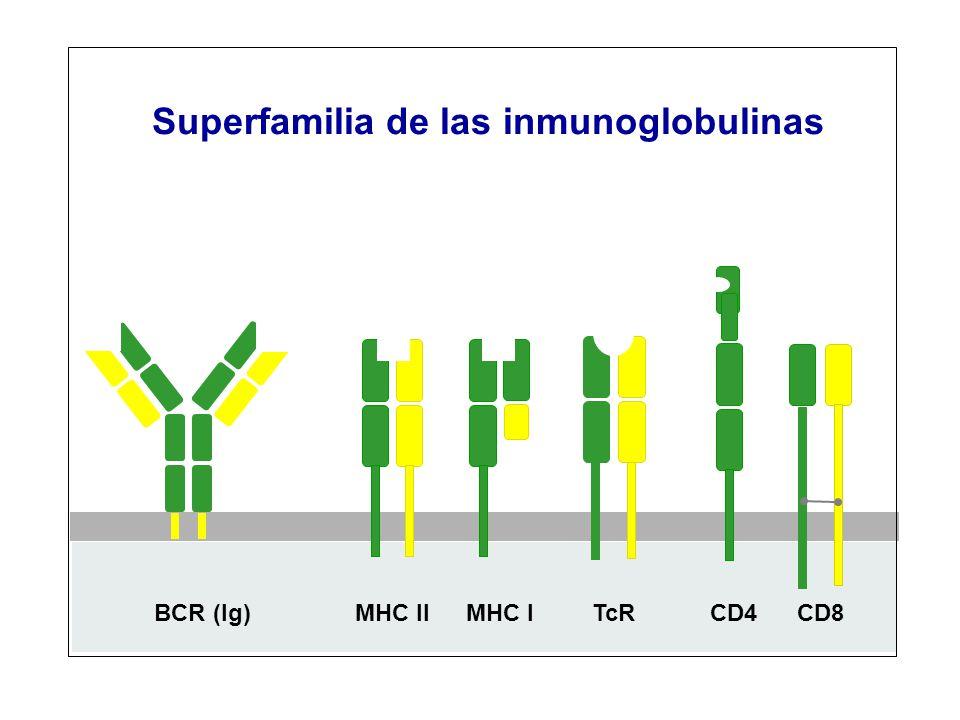Superfamilia de las inmunoglobulinas