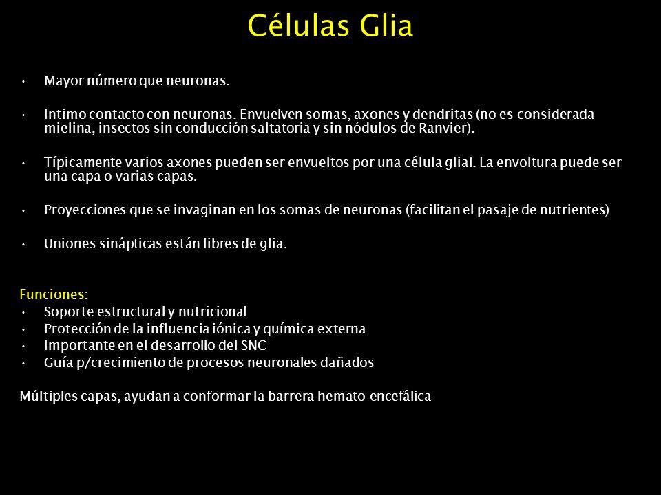 Células Glia Mayor número que neuronas.