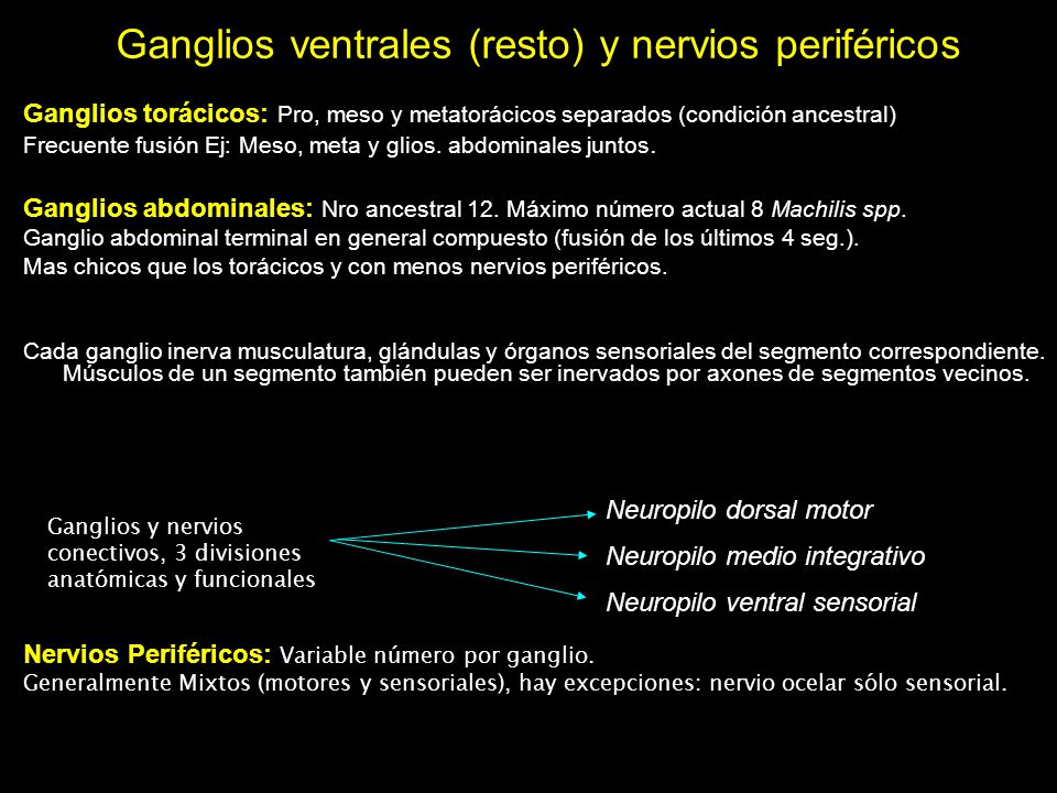 Ganglios ventrales (resto) y nervios periféricos