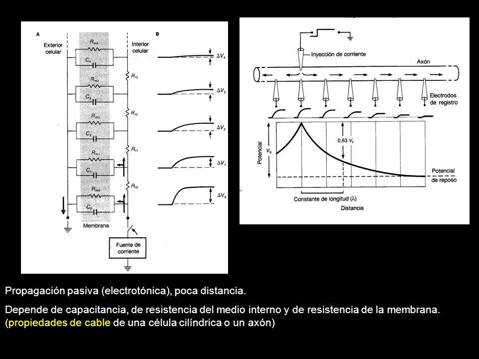 Propagación pasiva (electrotónica), poca distancia.