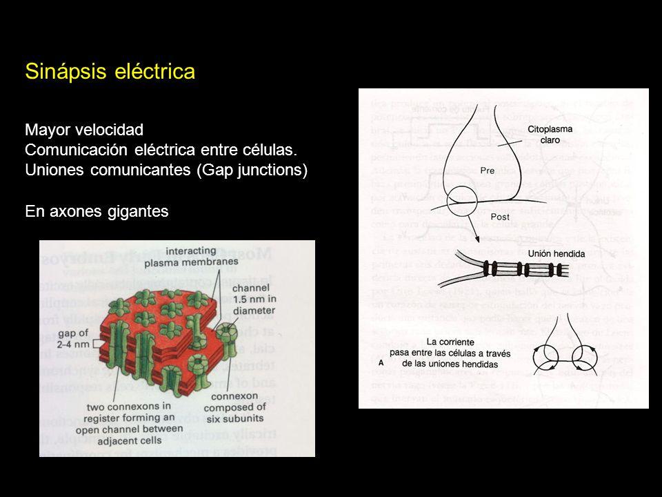 Sinápsis eléctrica Mayor velocidad Comunicación eléctrica entre células.