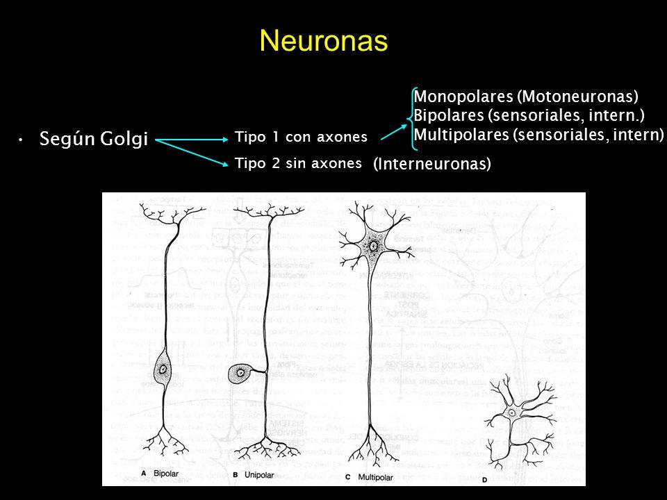 Neuronas Según Golgi Monopolares (Motoneuronas)