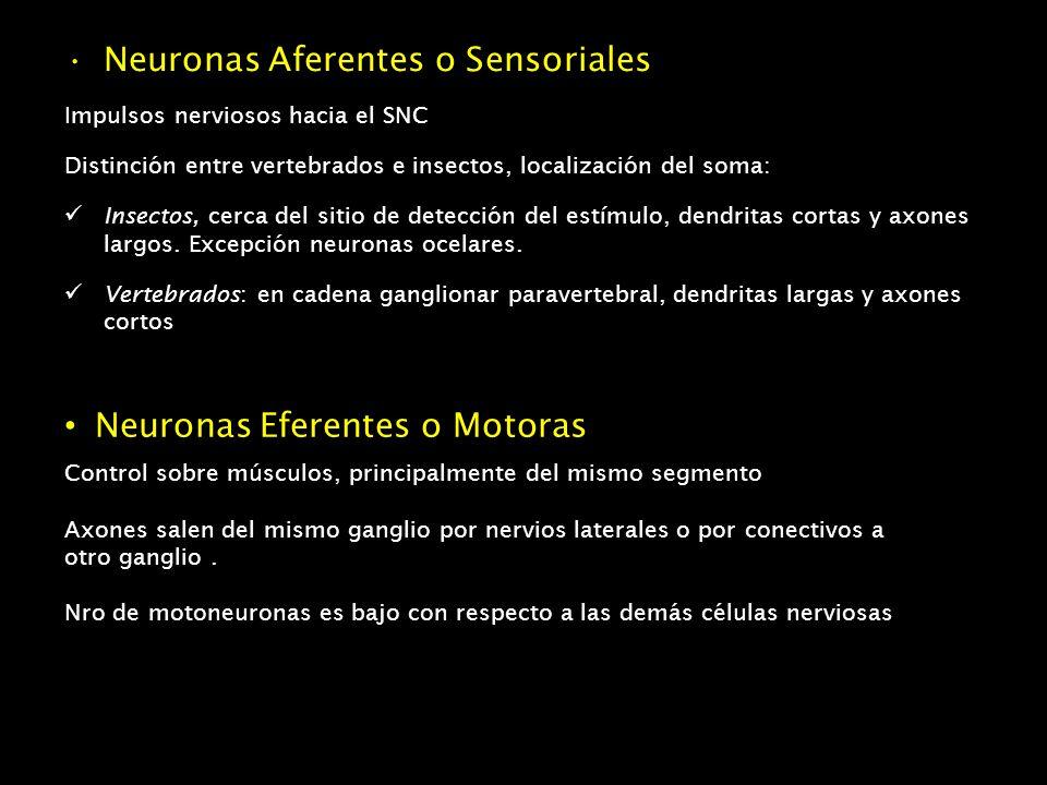 Neuronas Aferentes o Sensoriales