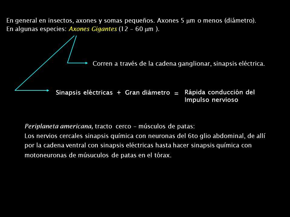 Sinapsis eléctricas + Gran diámetro